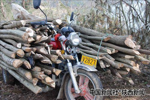 汉中市城固县南沙湖风景名胜区林木屡遭盗伐(